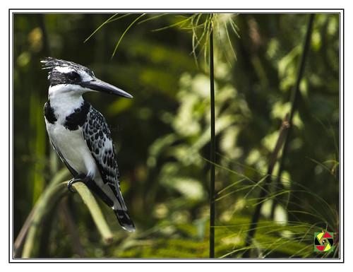 africankingfisher oiseaux bird vogel pássaro greatnature crestedaperture cerylerudis birdsofuganda uganda mabambaswamp kasanje mpigi lakevictoria eastafrica 500mmf4