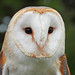 Barn Owl at Cressing Temple Barns, Essex