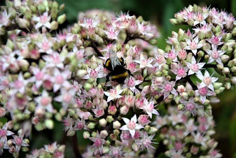 Bees in Sedum 30.08 (4)