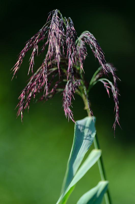 Purple: reed seed