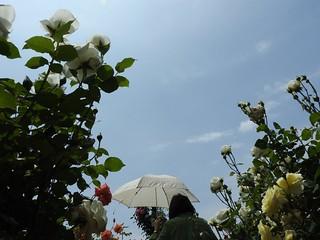 京成バラ園 34