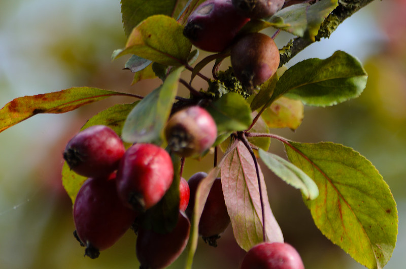 Red crab apples