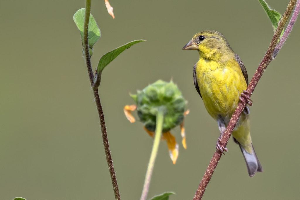 Lesser-Gold-Finch-3-7D2_083017