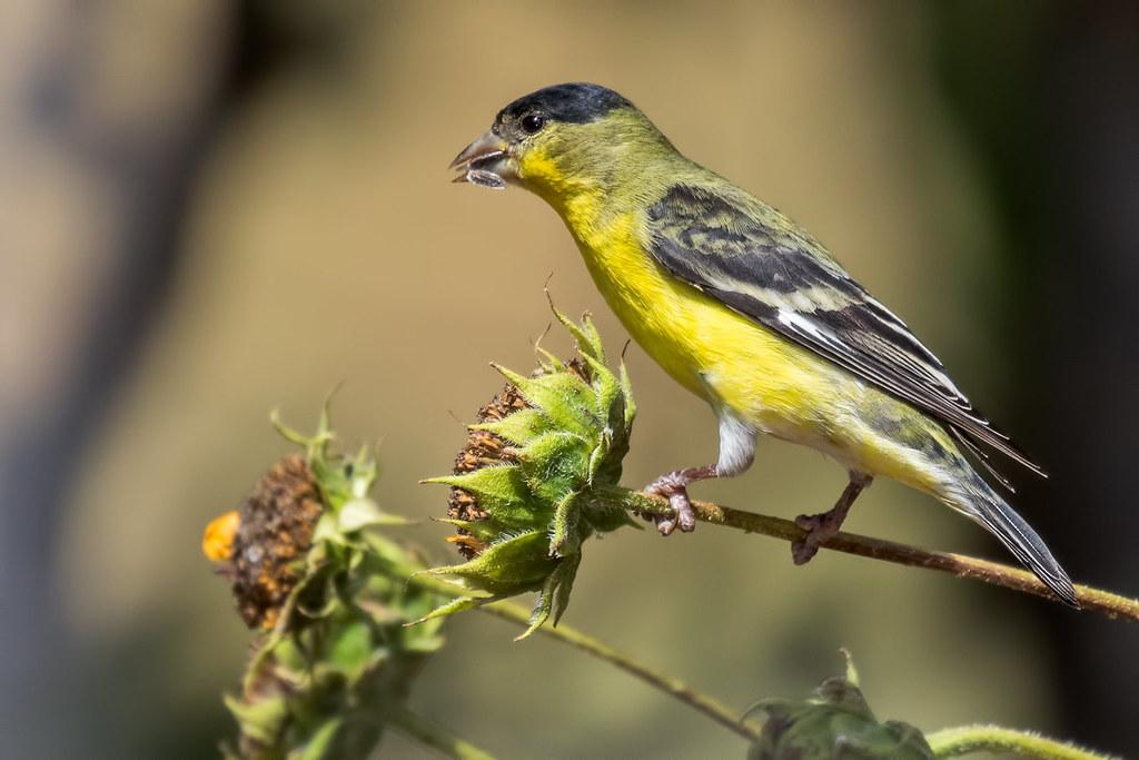 Lesser-Gold-Finch-2-7D2-090417
