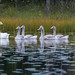 Laulujoutsenet 1 - Whooper swans 1