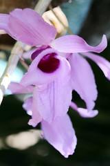 170827 Orchidée Dendrobium Aphyllum, Pirae, Tahiti