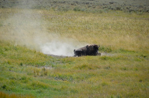 Yellowstone Bison in dust