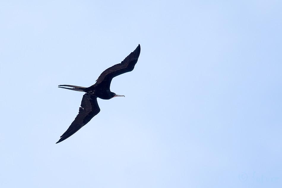 Keiser, fregattlind, Fregata, magnificens, Magnificent, Frigatebird, Frigate, Bird, Nicoya, peninsula, Costa Rica, Kaido Rummel
