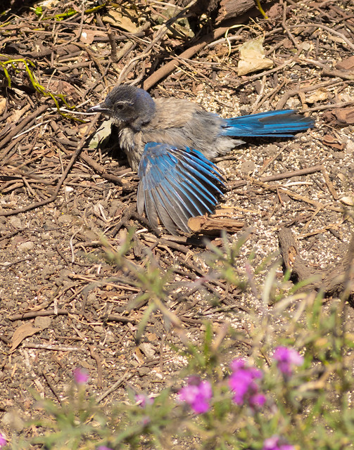 Baby Blue Jay, RICOH PENTAX K-3, smc PENTAX-F 100-300mm F4.5-5.6