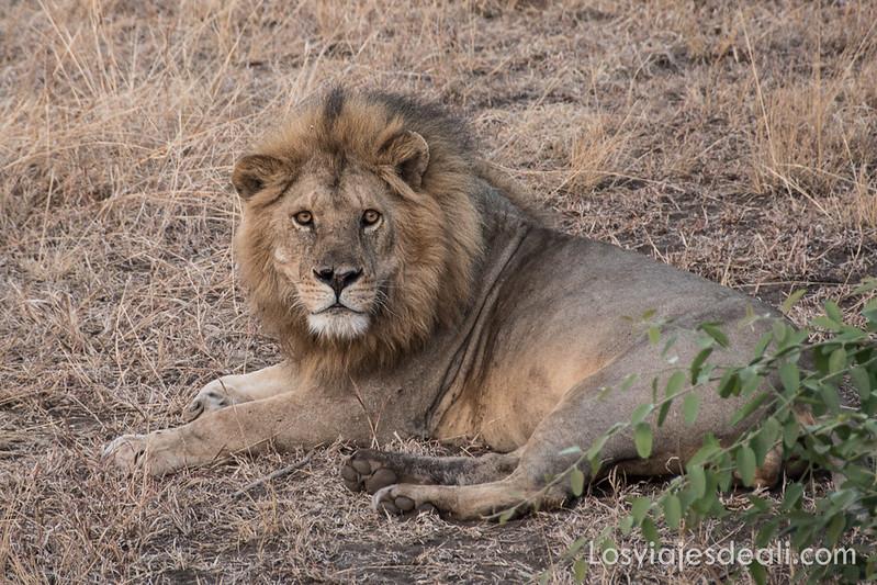 león macho en la visita al parque nacional Serengueti