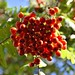 Under a Rowan tree by Sophie Campbell