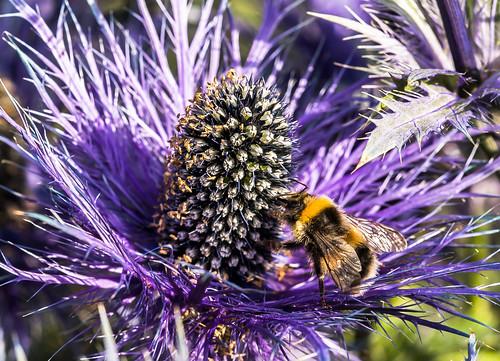 flower flowers bumblebee flie yellow purple purpleflower iceland akureyri summer lystigarður lystigarðurinn town