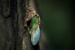 Newly Emerged Cicada