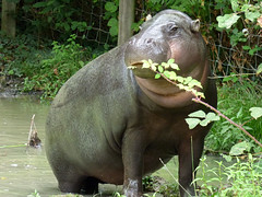 Cerza Zoo - pygmy hippopotamos. (2) - Photo of Manerbe