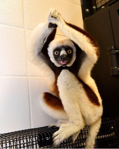 That #FridayFeeling courtesy of @dukelemurcenter. You made it through the first week of classes. Happy weekend, #BlueDevils!