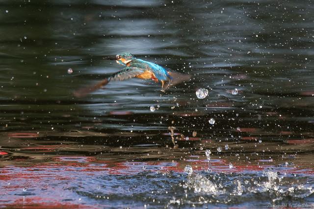 20170902-Kingfisher-DSC_1574