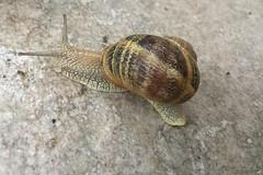House snail