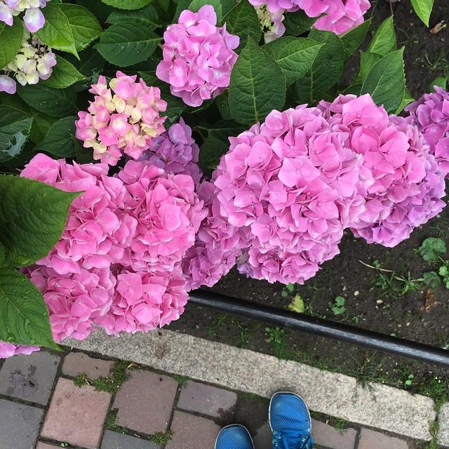 sunday, hortensia, hydrangea, helsingborg