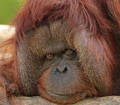 borneo orangutan Kevin Apenheul BB2A9819