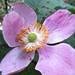 4181 Self sown Japenese anemone