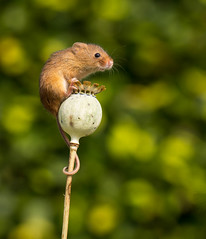 Harvest mouse on poppy head