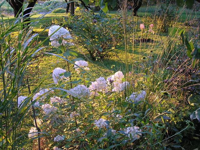 Hydrangea paniculata 'Magical Candle'