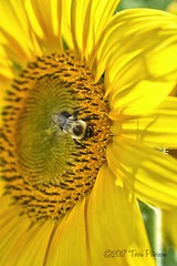Sunflower and a friend