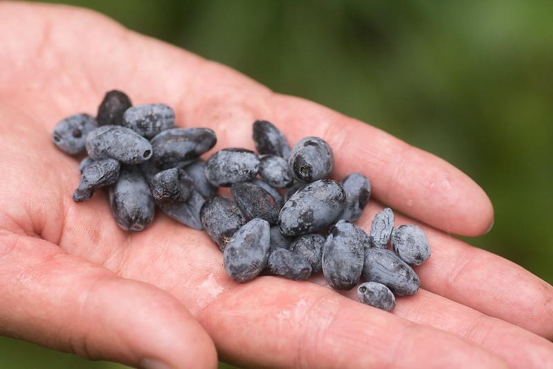 Eadible blue honeysuckle berries on hand