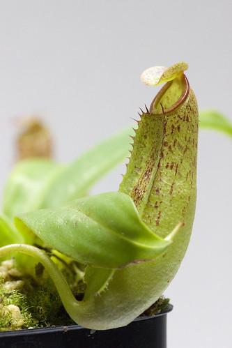 Nepenthes sp. 1 (Sumatra) BE tc