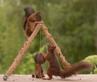 squirrels with  a iron ball
