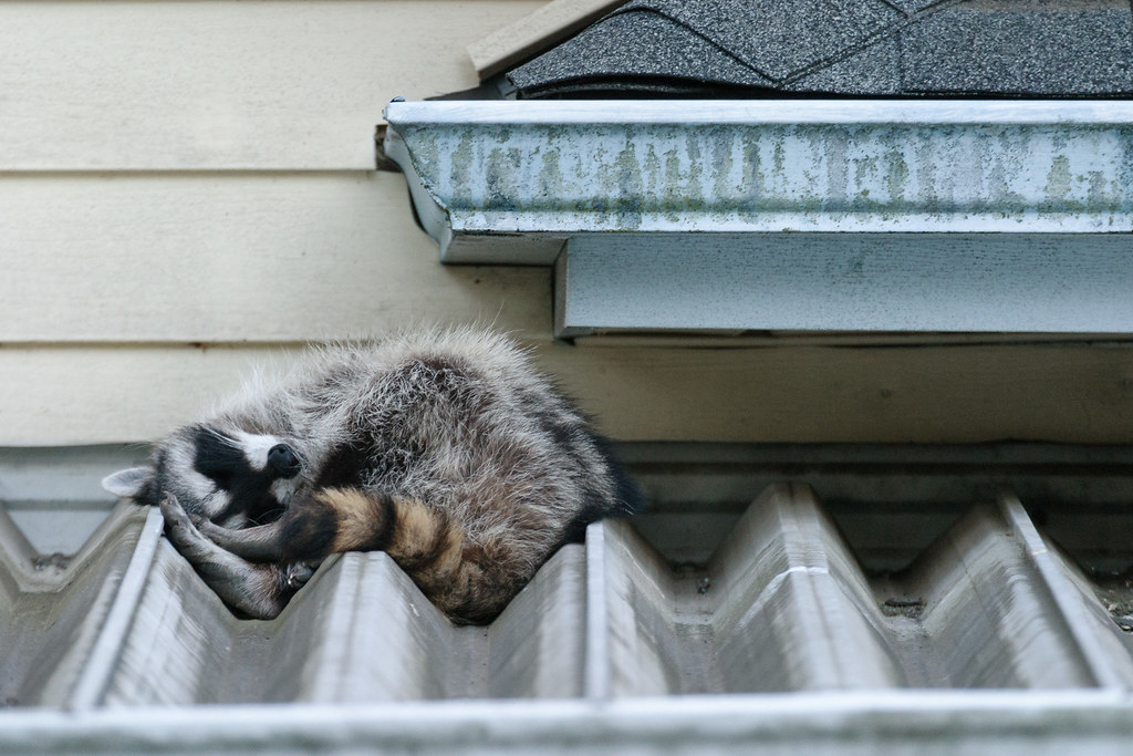 A common raccoon sleeps on a carport in Portland, Oregon