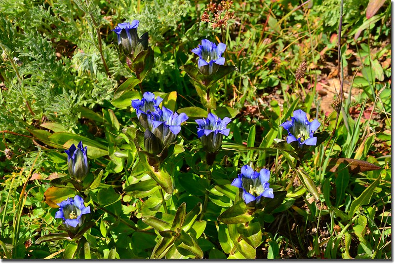 Mountain gentian (2)