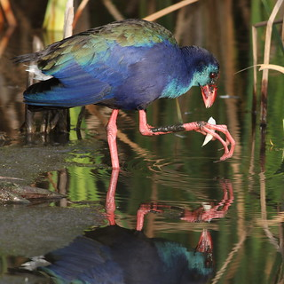 African (Purple) Swamphen, Porphyrio madagascariensis at Marievale Nature Reserve-eating