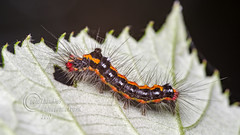 _IMG7980  Yellow-tail Moth Caterpillar - Euproctis similis