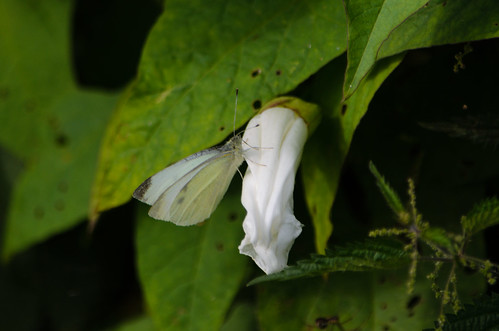 White on white: butterfly, bindweed flower