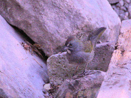 Green-tailed Towhee 03-20170911