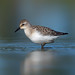 Semipalmated sandpiper by Phiddy1