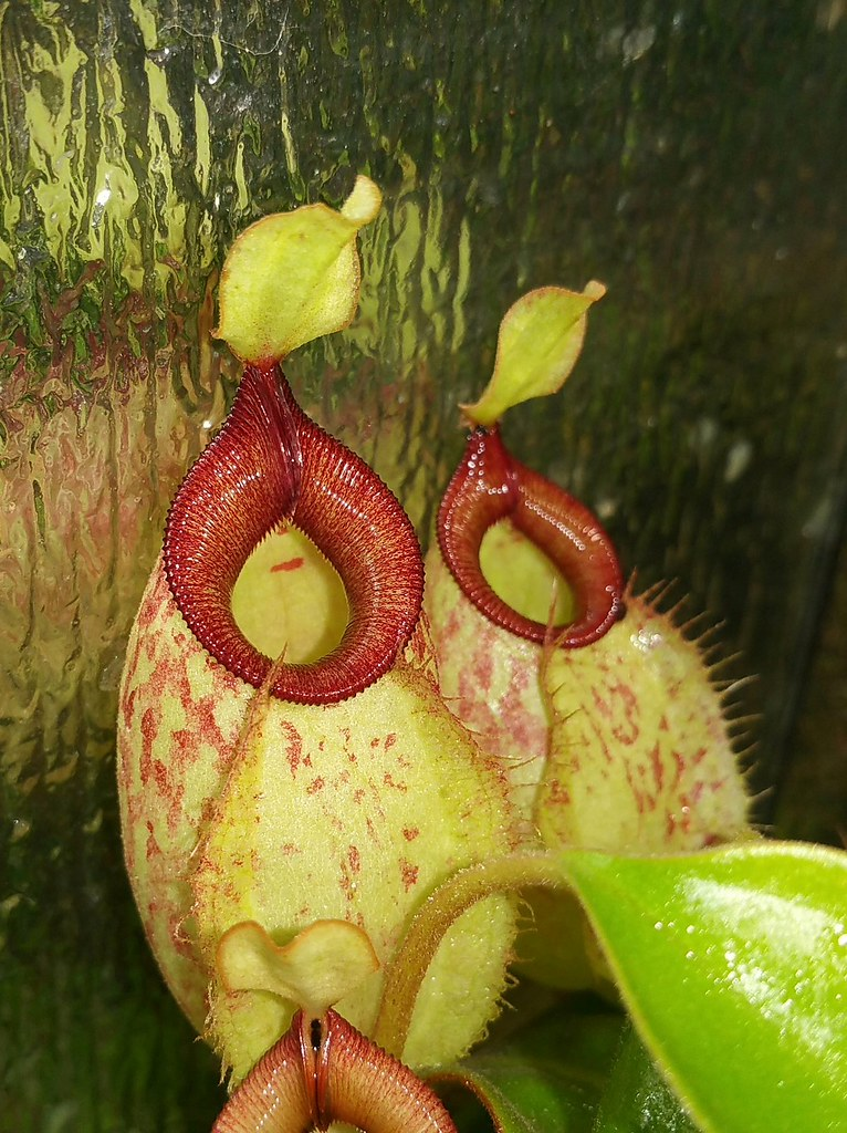 Nepenthes x hookeriana (Triffid Park clone), terrarium grown