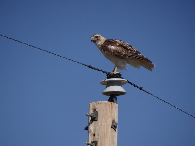 red-tailed hawk, Dawes Co, Nebraska