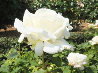 谷津バラ園の薔薇 10