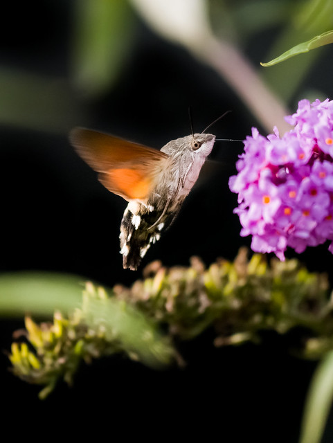 Hummingbird Hawk-Moth - explored 2017-09-20