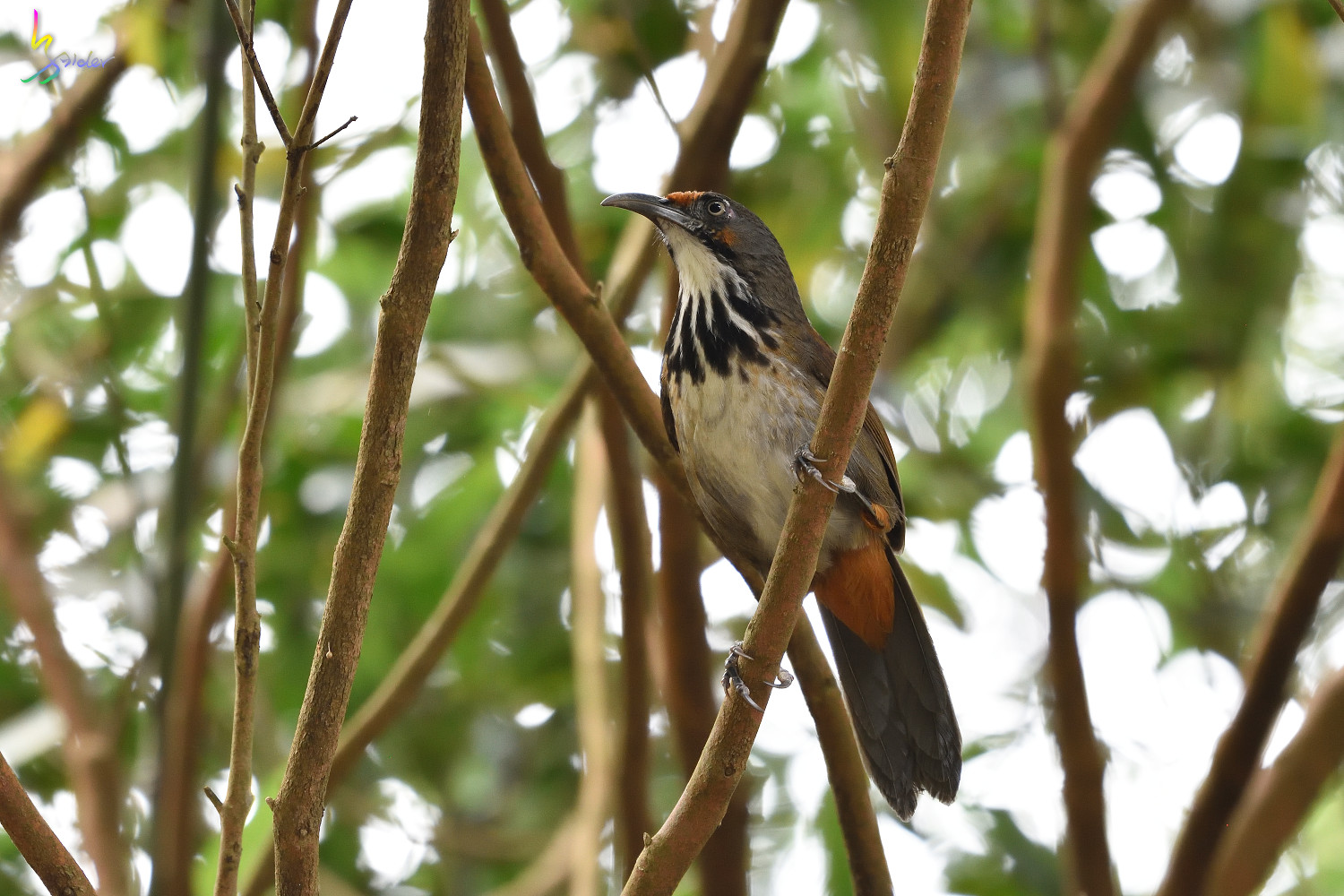 Rusty-cheeked_Scimitar_Babbler_2098