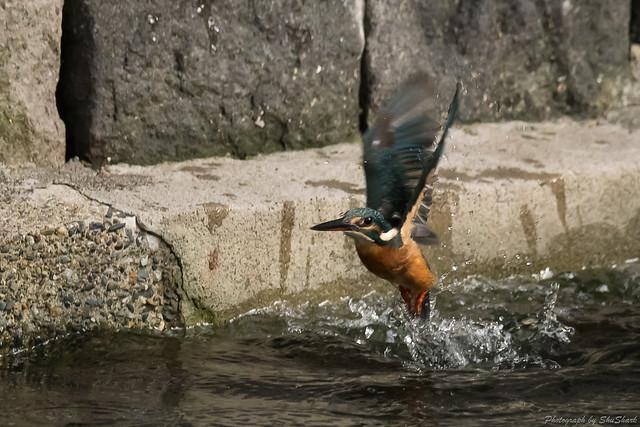 20171001-Kingfisher-DSC_4075