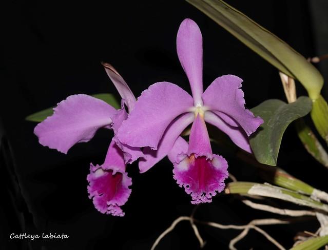 Cattleya labiata 37428540181_cb4951cc3e_z