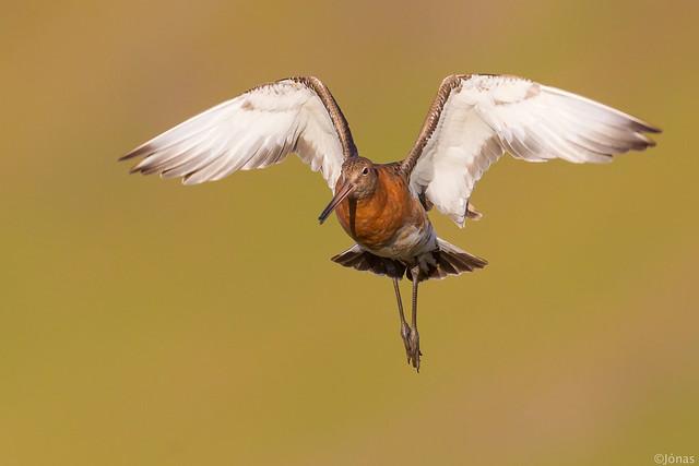 Jaðrakan / Black-tailed godwit