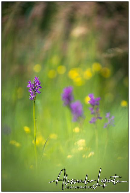 Dactylorhiza traunsteineri Saut. ex, Canon EOS 5D MARK IV, Sigma 180mm f/2.8 EX DG OS HSM APO Macro