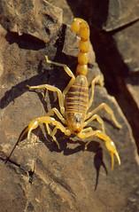 Common Yellow Scorpion (Buthus occitanus)