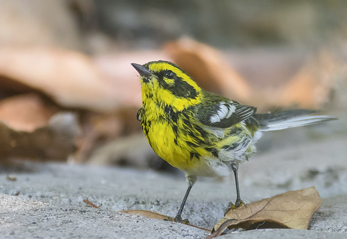 Townsend's Warbler (female)