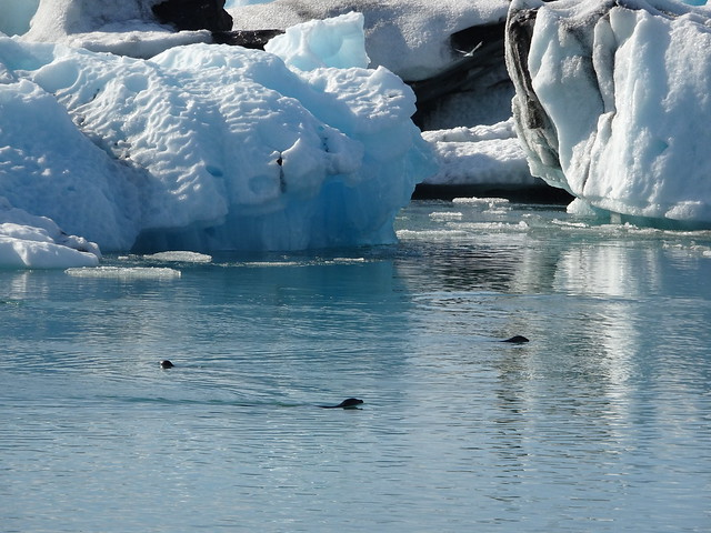 Seals in the Lagoon