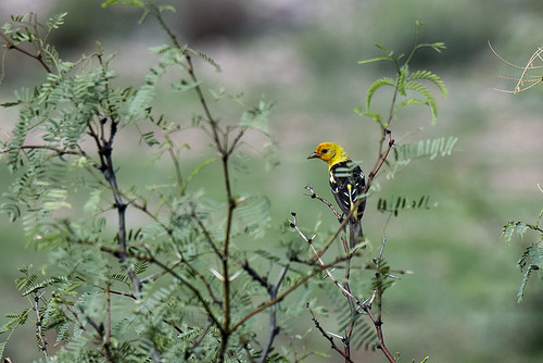 Portal: Western Tanager in Field